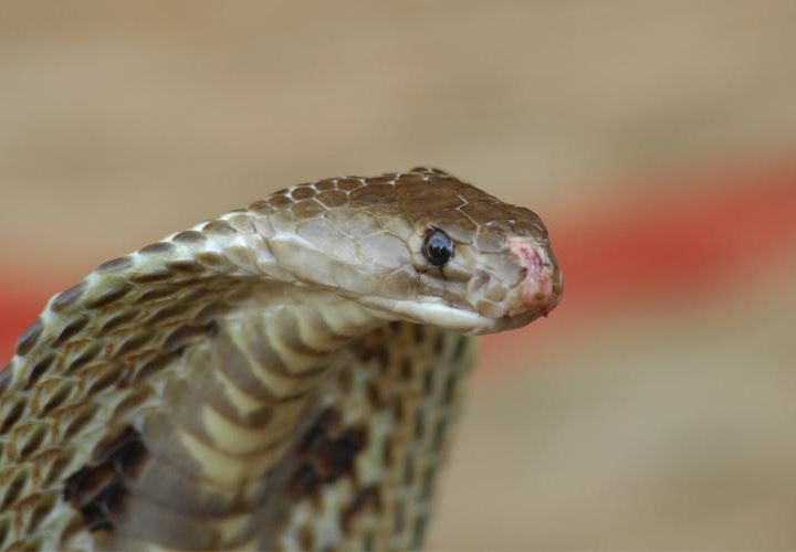 "COMMERCIAL ANTIVENOM USED IN INDIA, ""LARGELY INEFFECTIVE"", FINDS IISc STUDY"