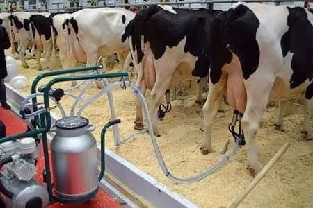 साफ सफाई से दूध दुहने के तरीके